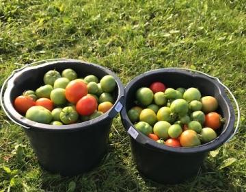 Viimased tomatid korjatud ära enne kasvuhoonete pesemist