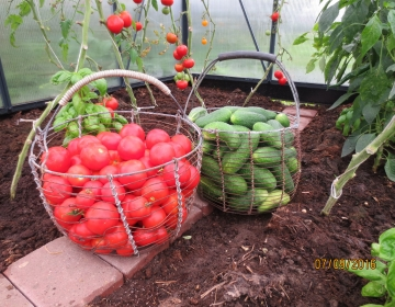 Eesti kliimas on tomatit-kurki võimalik kasvatada mahedalt ja saada head saaki