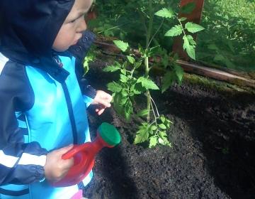 Väike abiline tomateid kastmas