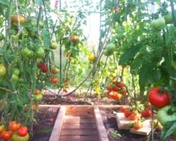 Kogenud tomatikasvataja saab alati rikkaliku saagi